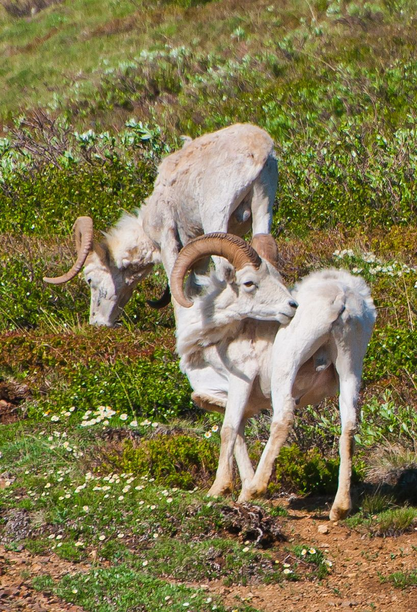 Mountain Goats, Denali National Park, Alaska