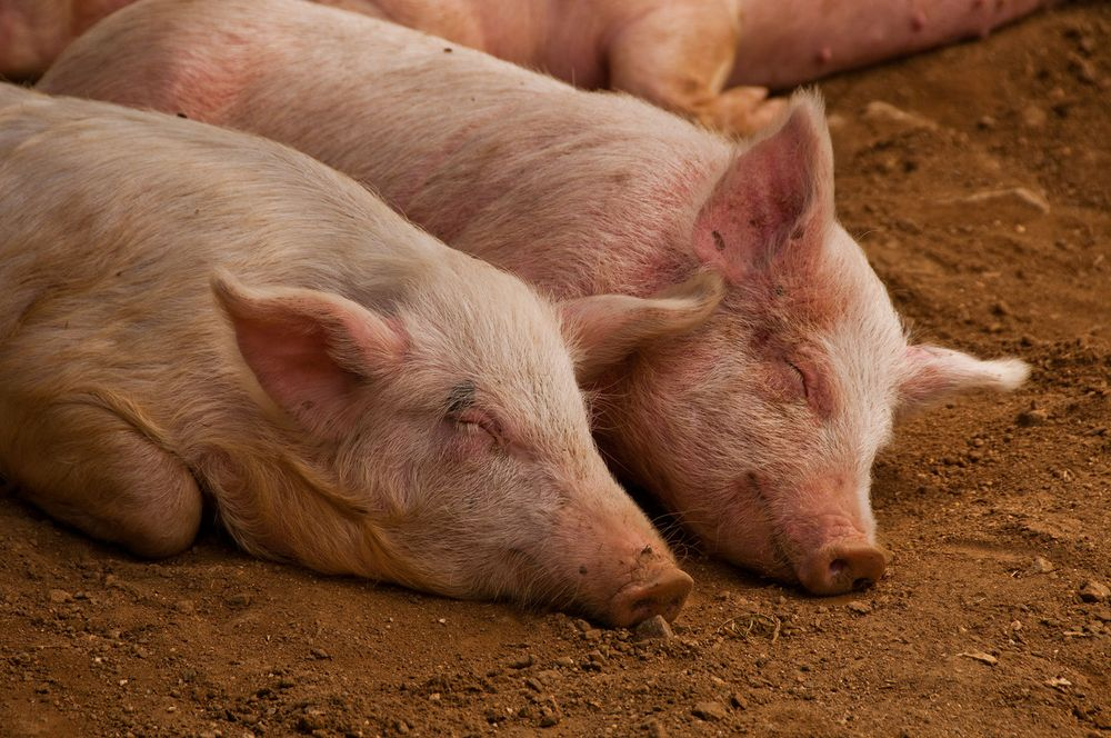 Pigs at the Market, Oaxaca. Mexico