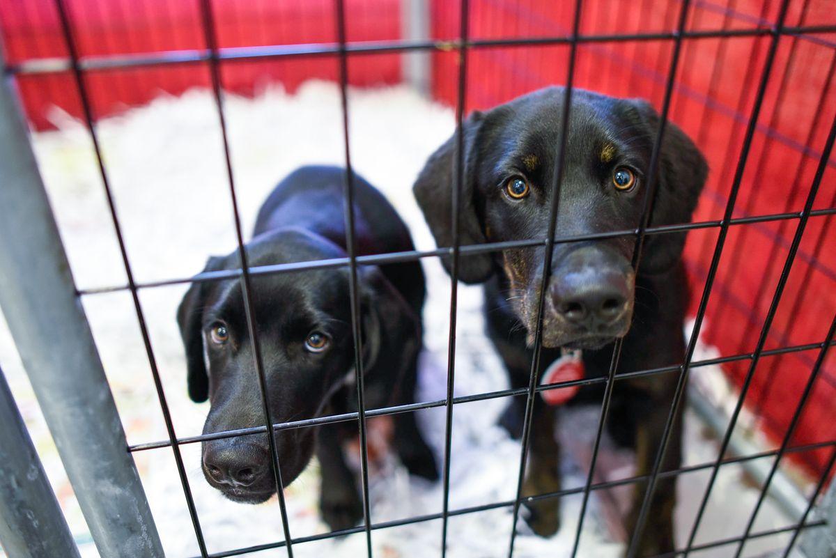 Dog Days Adoptions