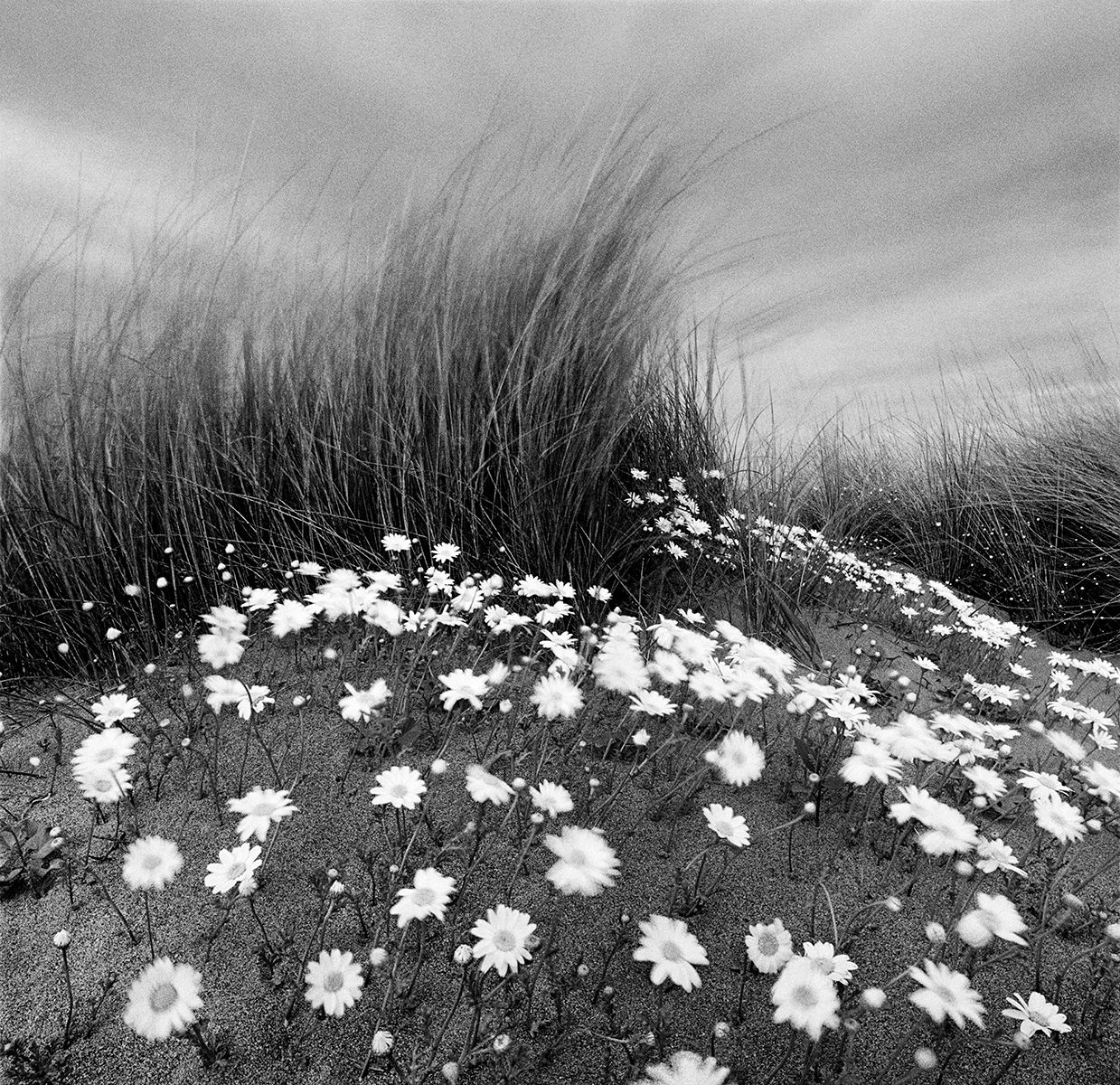 Sand Daisies-crop  copy.jpg