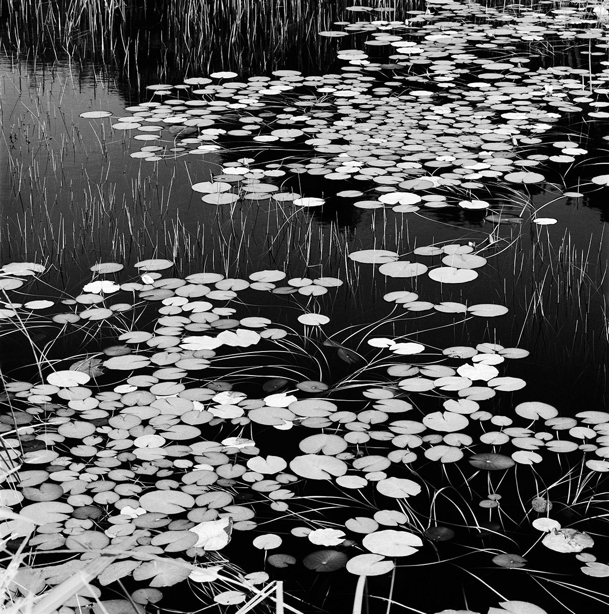 LILY POND Final For LVT copy.jpg