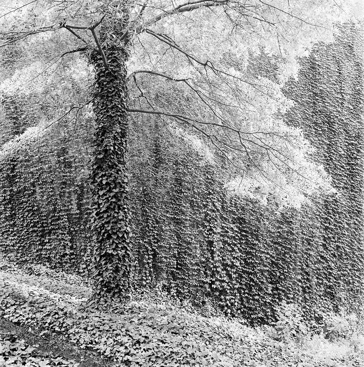 Ivy Tree   copy.jpg