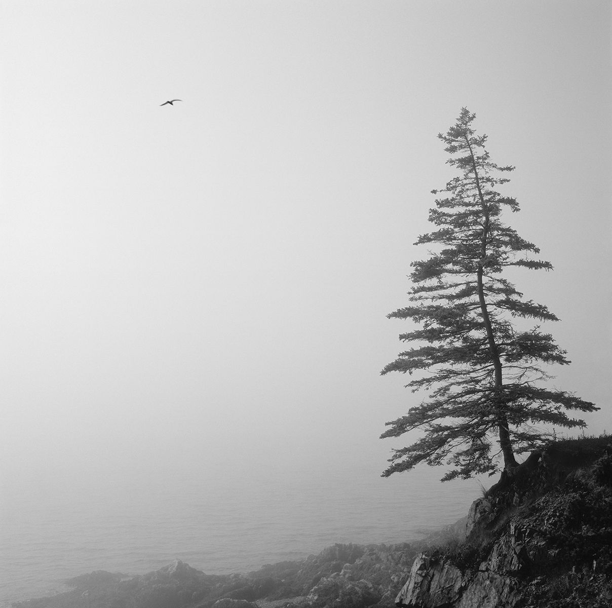 Maine Tree w Seagull copy.jpg