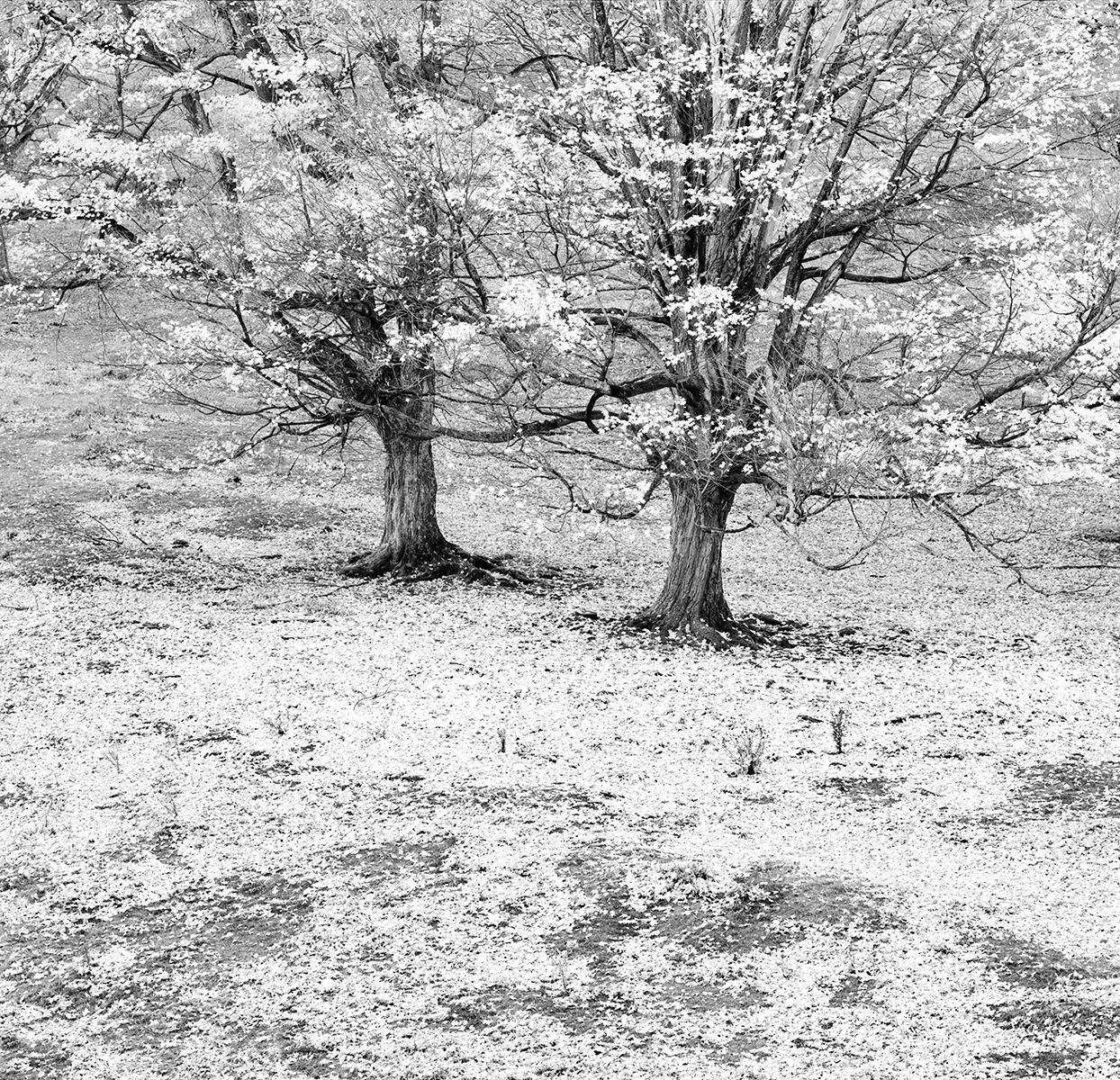 Twin Trees Layered  copy.jpg