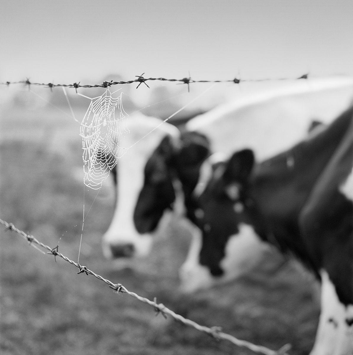 Holsteins copy.jpg