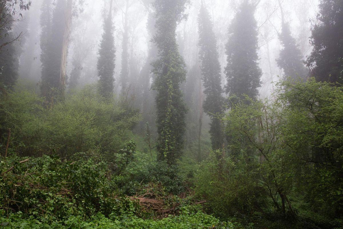 Sutro Forest #5