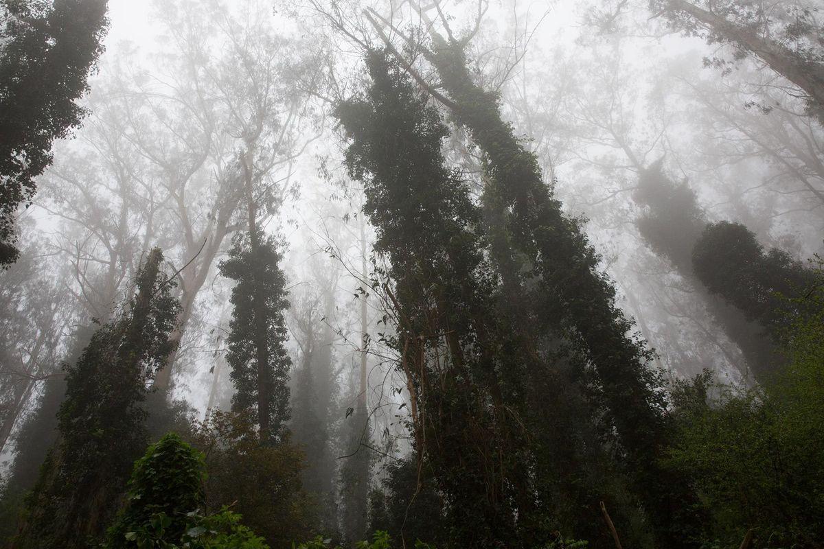 Sutro Forest #6
