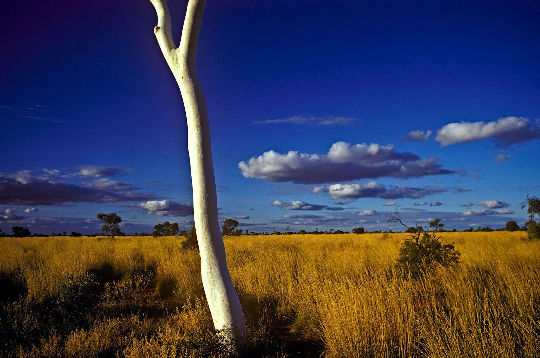 Ghost Gum,  South Australia