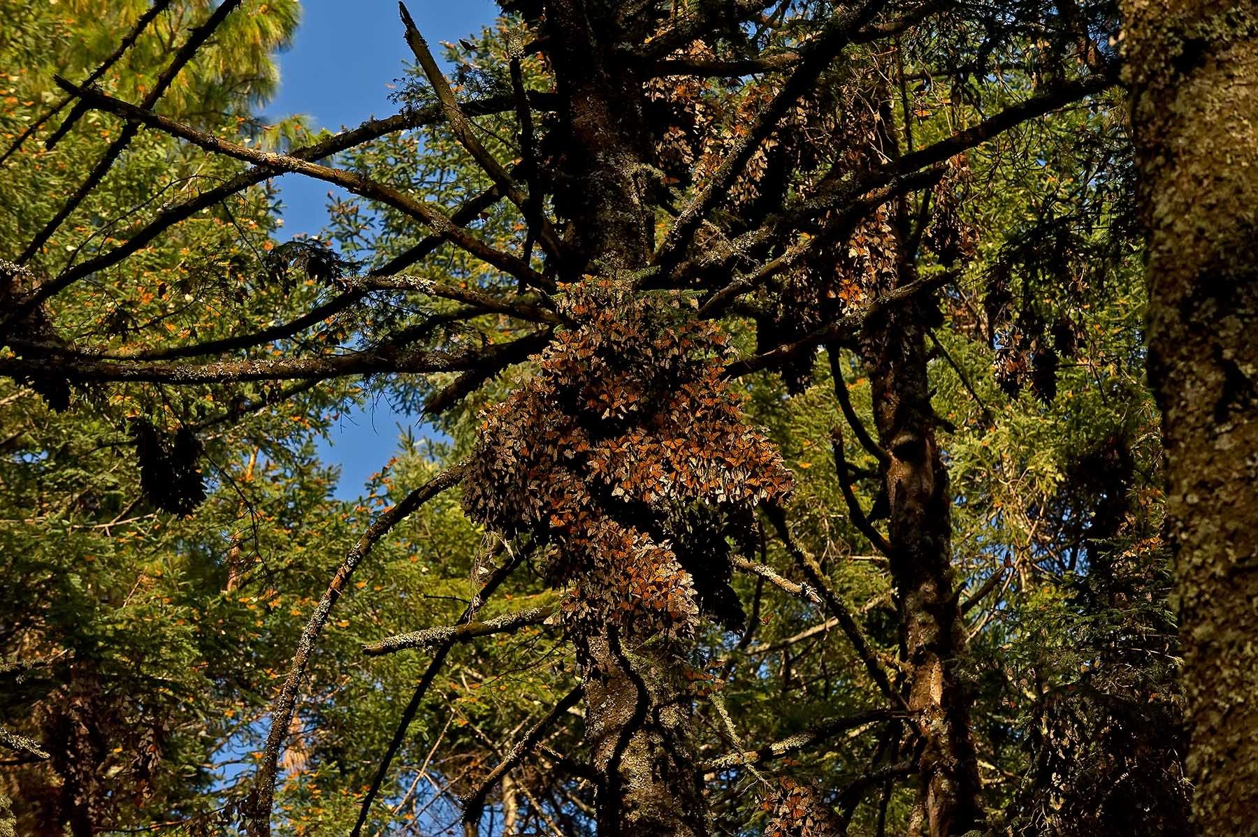 A colony of monarch butterflies in the Sierra Chincua Santuario