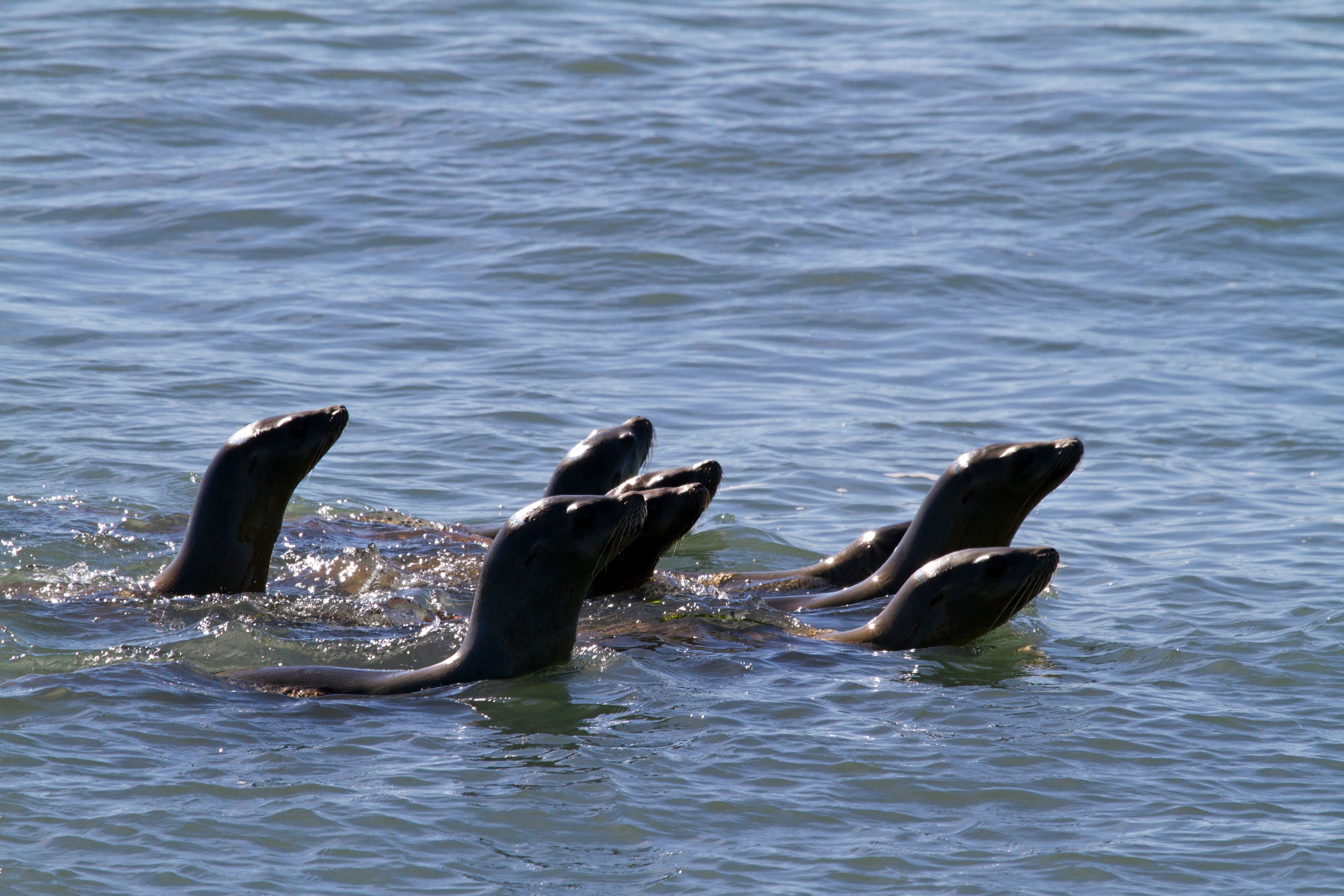 Sealions Swimming