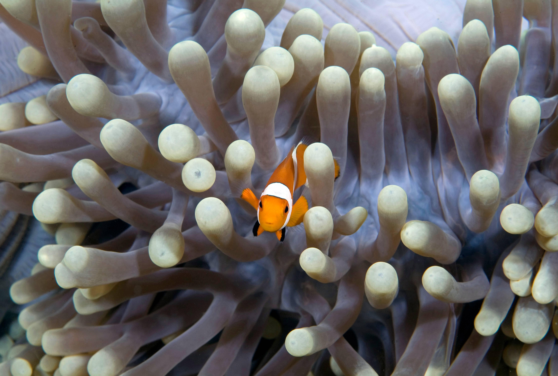 Anemonefish in Anemone