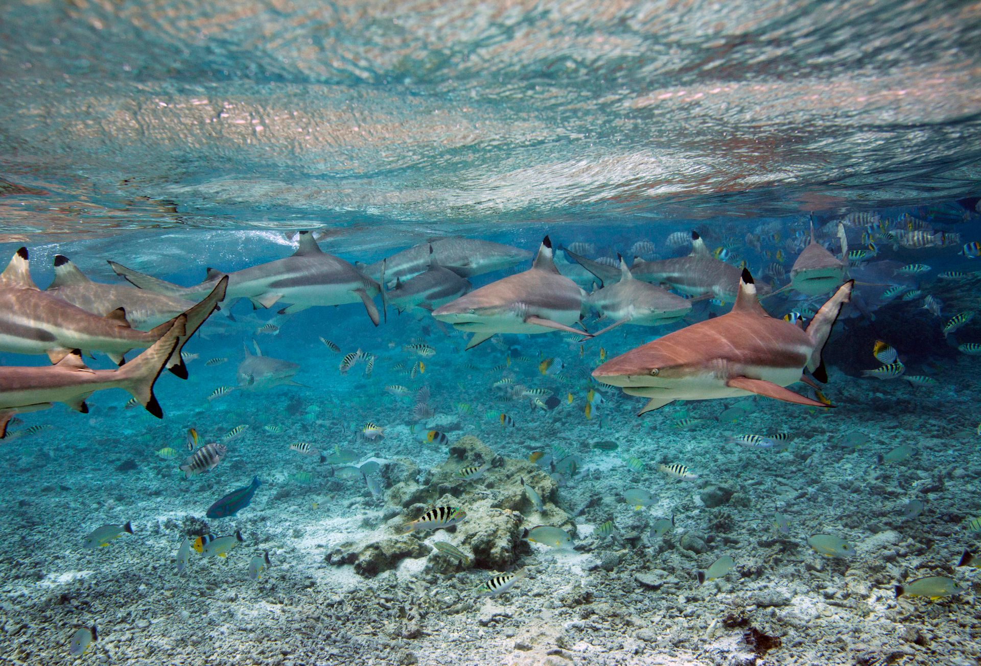Reef Sharks, BoraBora, French Polynesia