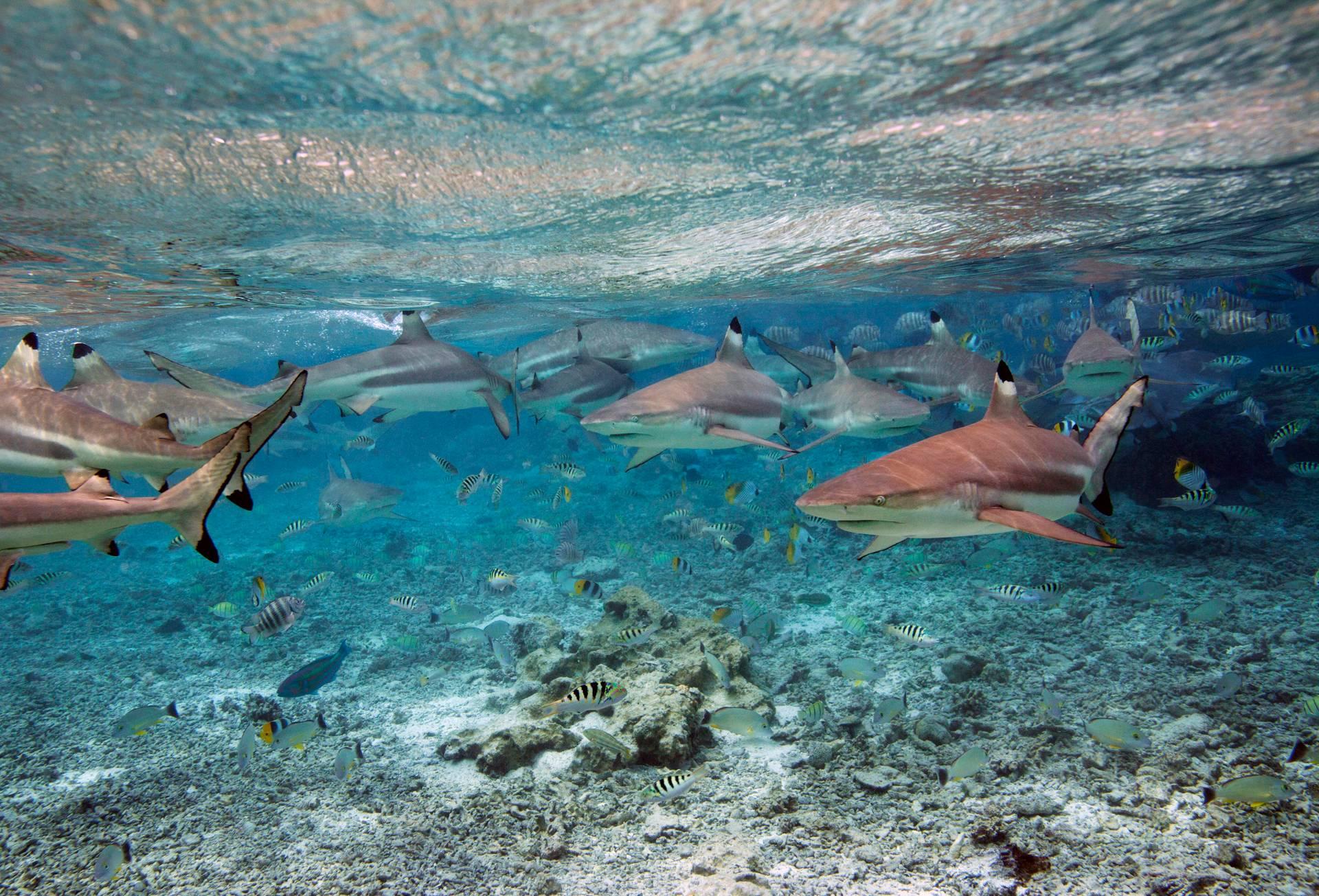 Reef Sharks, BoraBora, French Polynesia