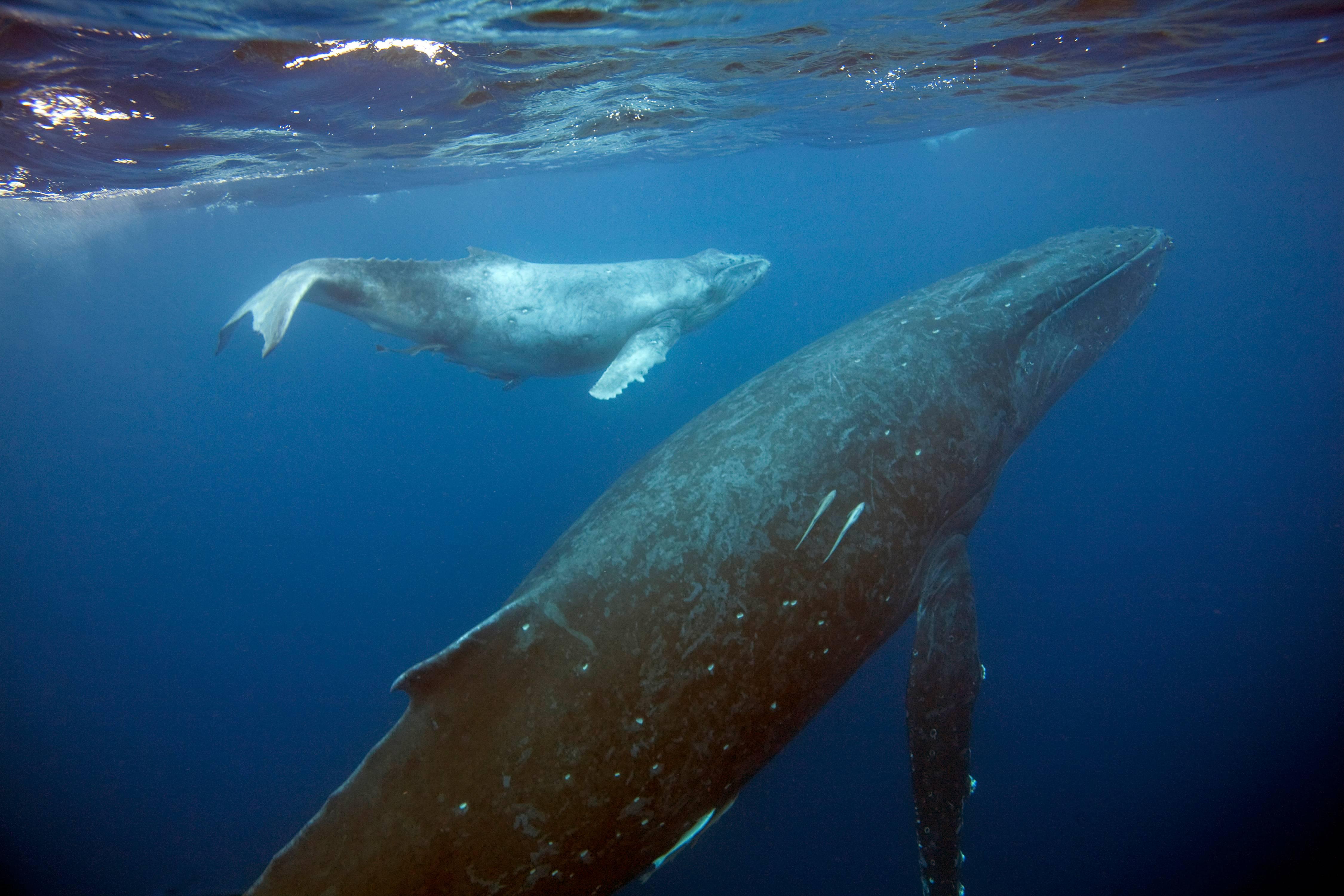 Humpback Whale Mother and Calf, Kingdom of Tonga