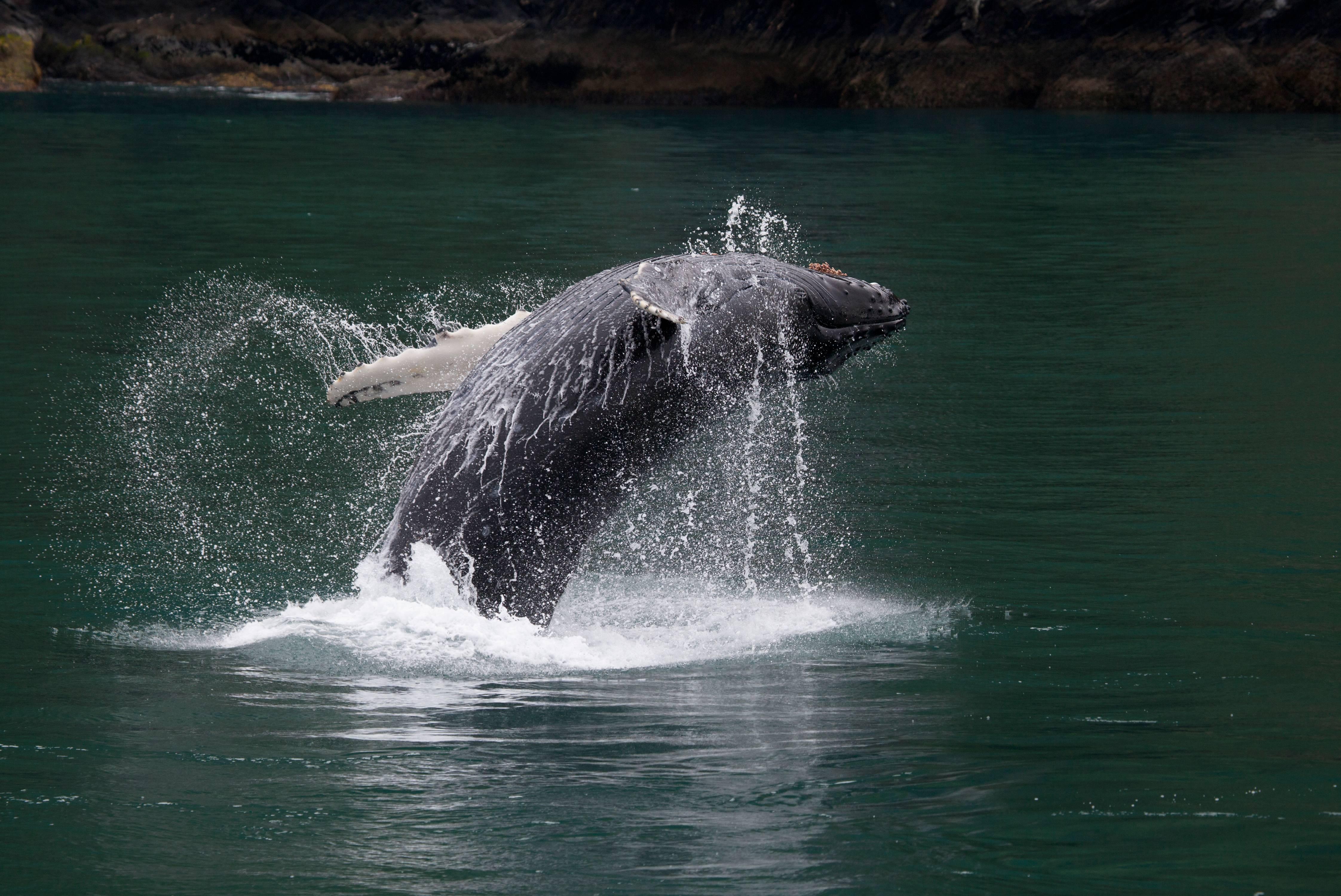 Breaching Humpback Whale, Kenai Fjord, Alaska