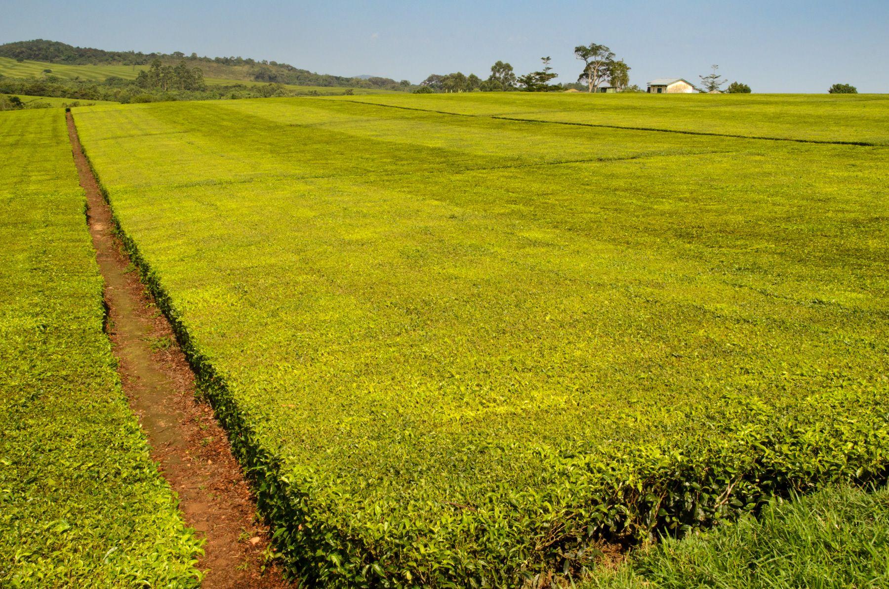 Uganda Tea Master_.jpg