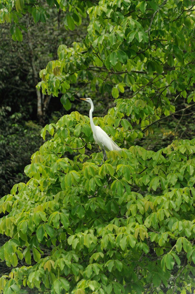 Guat tree crane.jpg