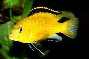 1yellow_labidochromis