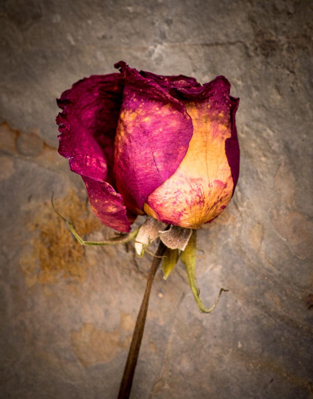 Dry Rose.jpg
