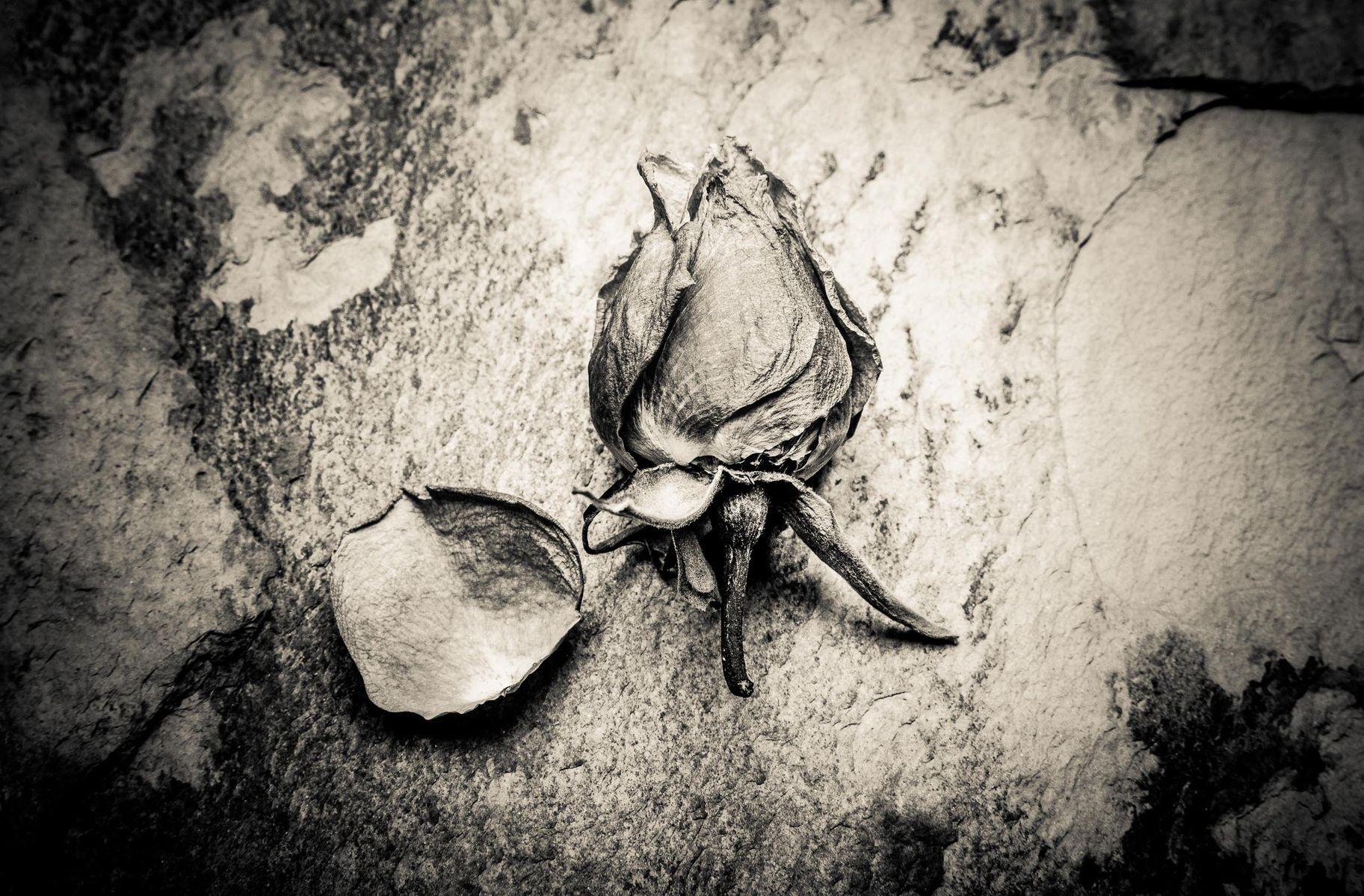 dry_roses-9-2.jpg