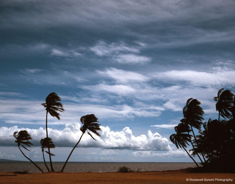 Molokai Coconut Trees