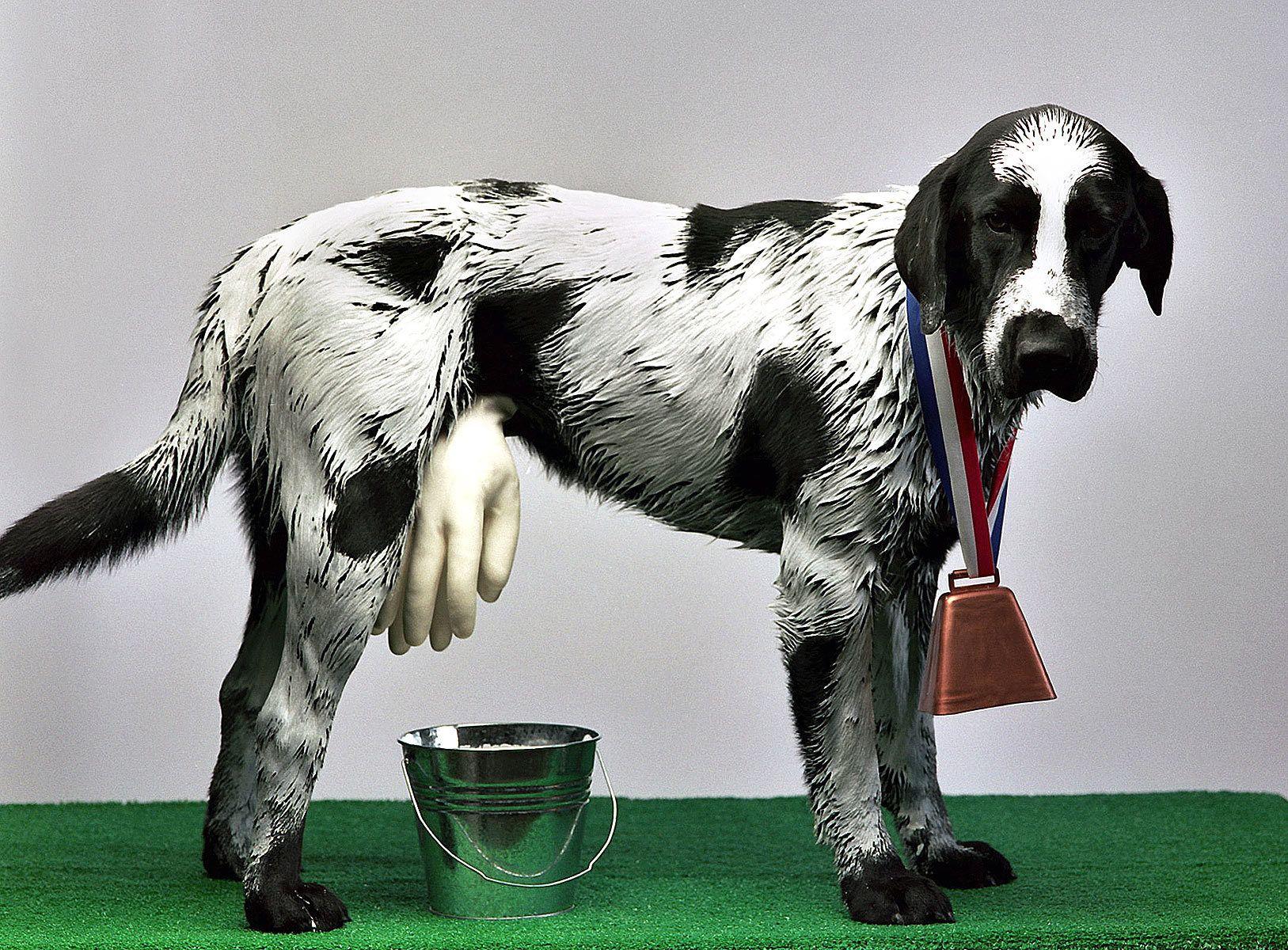 Dairy Dog