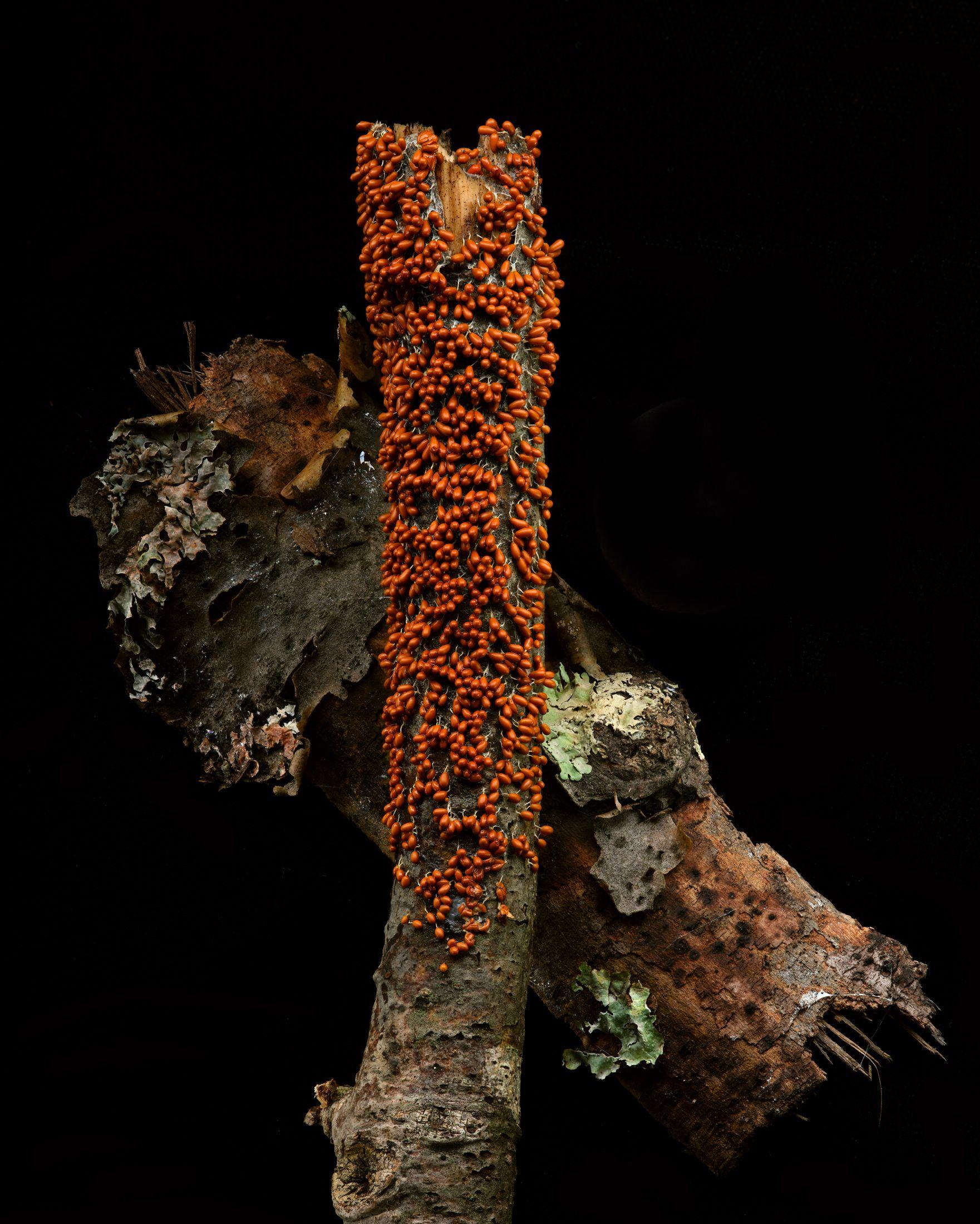 13 348-354-Leocarpus-fragilis--Insect-egg-mass-slime.jpg