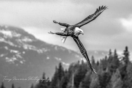 Eagle in Alaska.jpg
