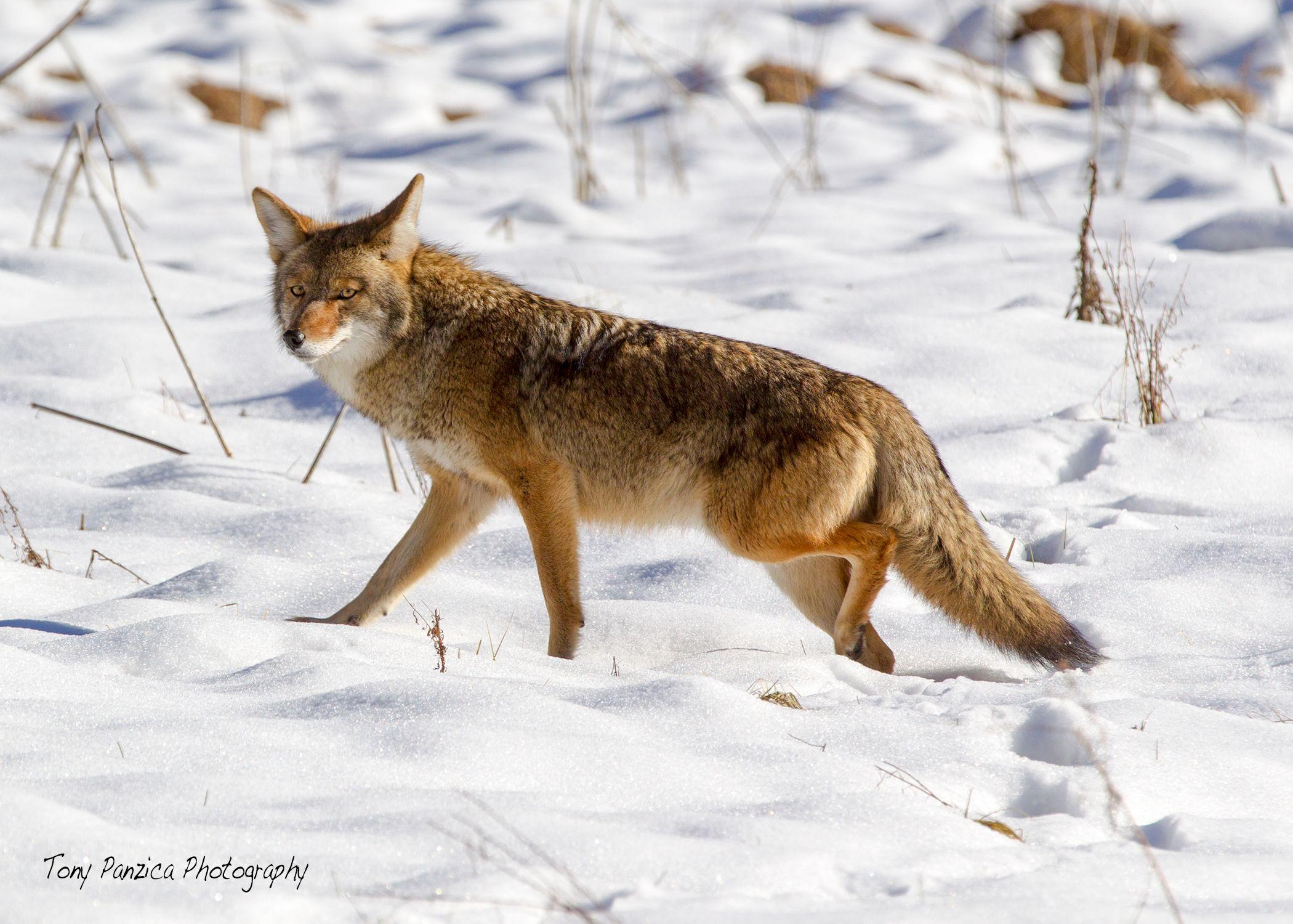 Coyote in Cooke's Meadow.jpg