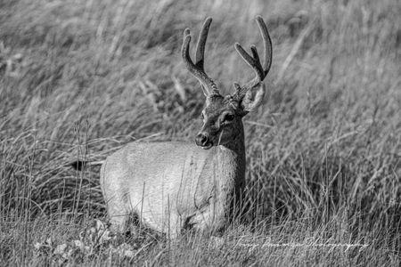 Yosemite Buck.jpg
