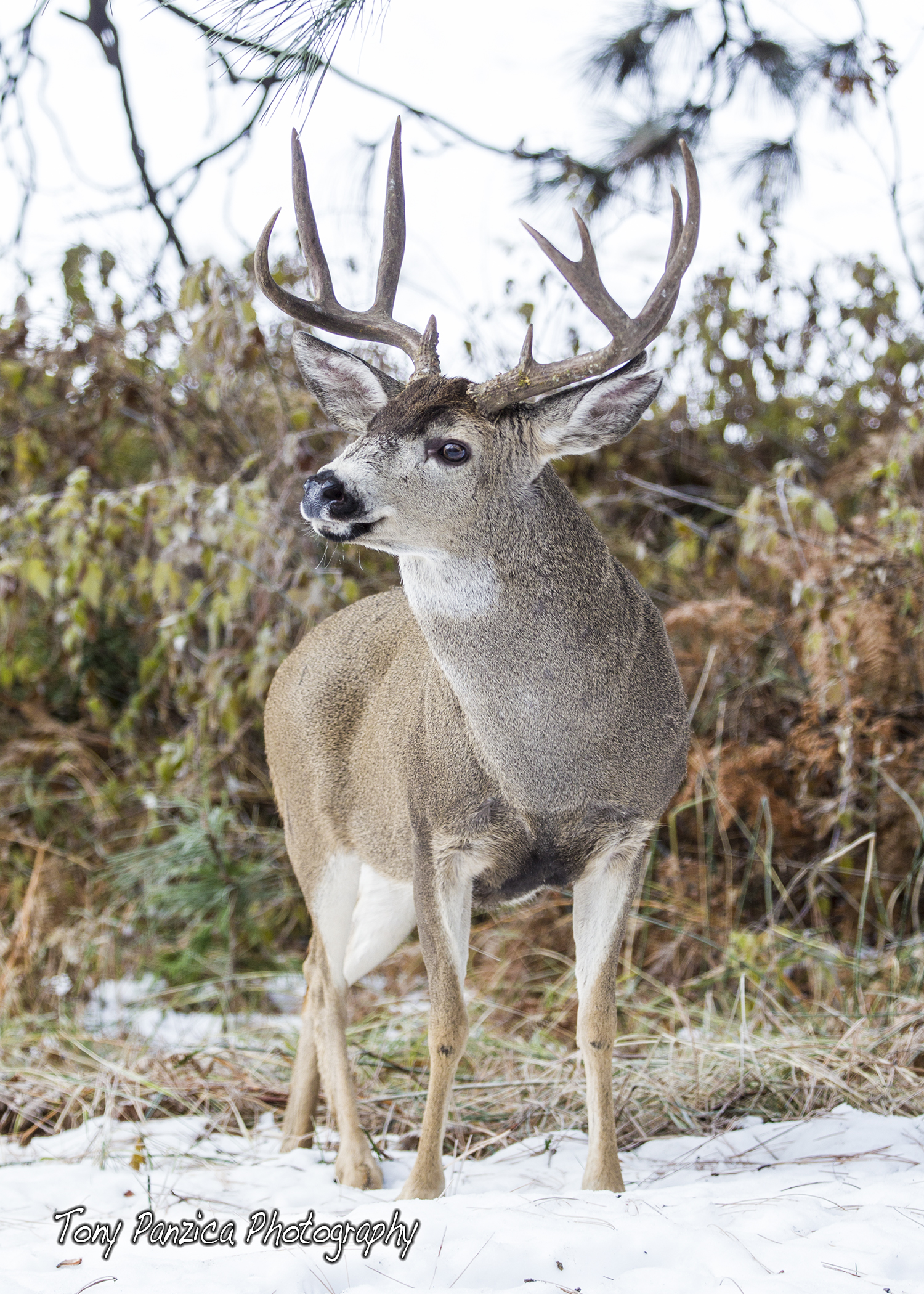Buck in Winter.jpg