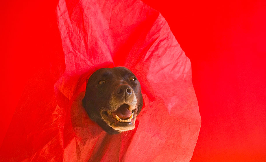 Goofy dog on a red background