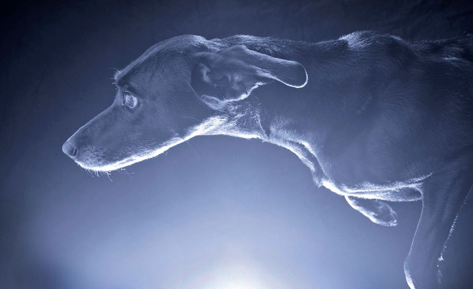 Studio close-up of a dog running into the light.