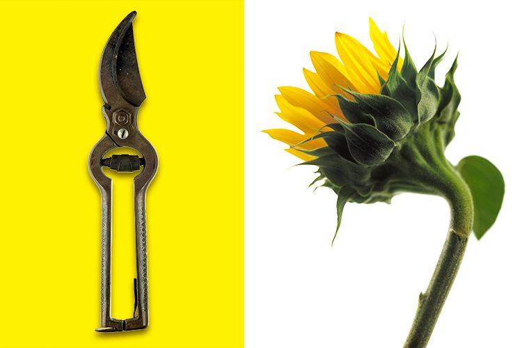 1still_life_prunners_sunflower_01.jpg