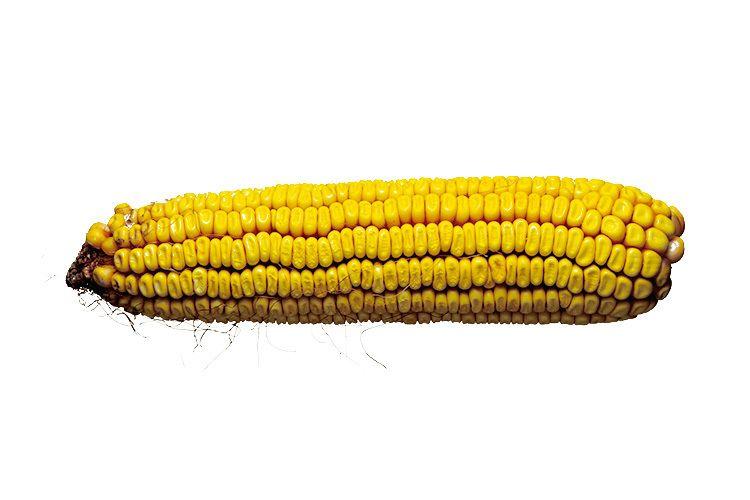 1still_life_corn_cob_01.jpg