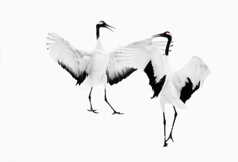 1japan_cranes_3_