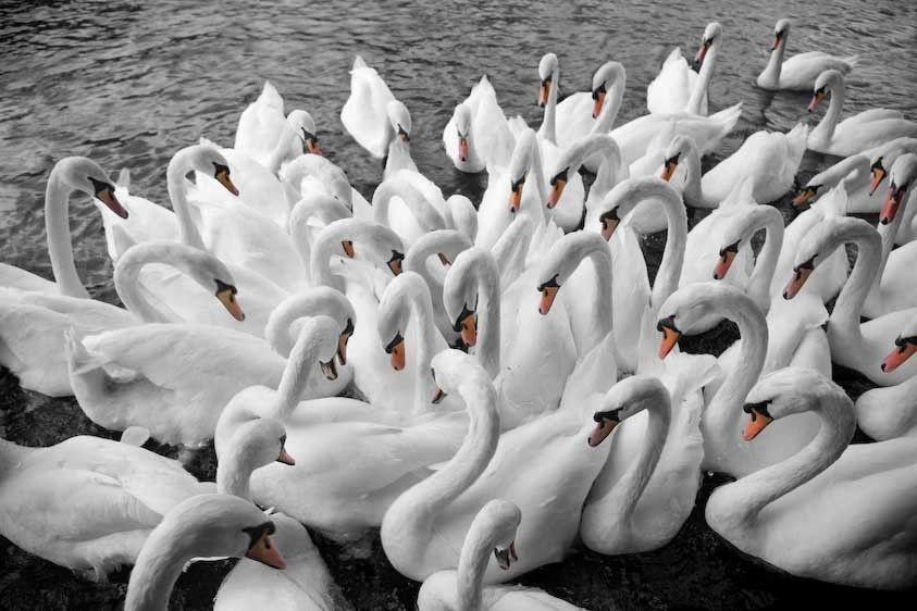 1England_Thames_swans