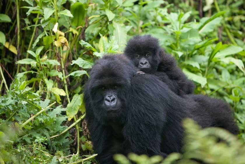 1Rwanda_gorillas_4