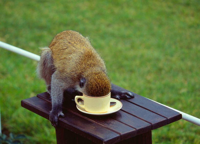 1kenya_coffee_monkey_