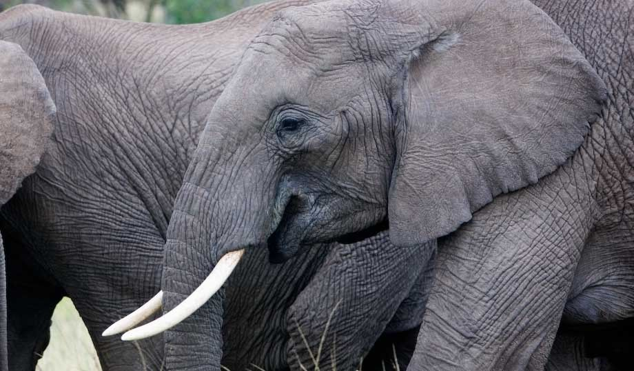 1Kenya_elephants_34