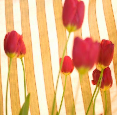 1Flowers_tulips_stripes