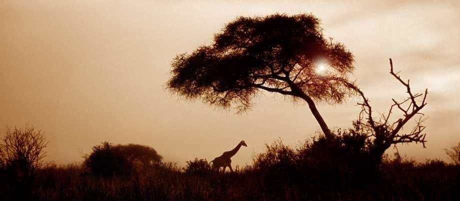 1tanzania_panoA_giraffe