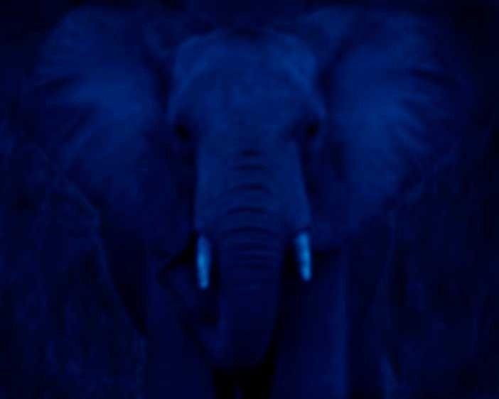 1kenya_elephant_blue