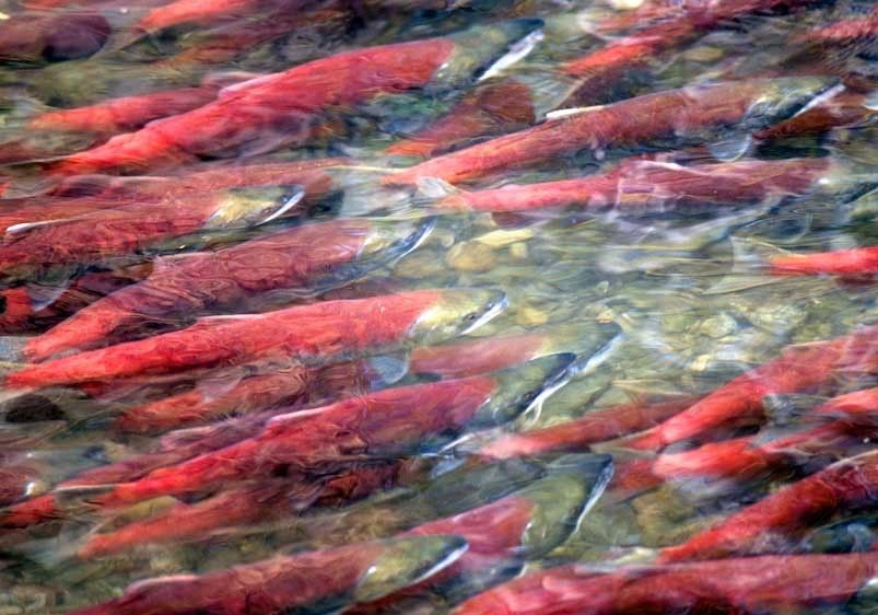 1canada_salmon_12x18