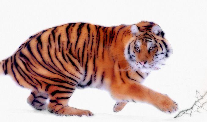 1Siberian_tiger_6_2