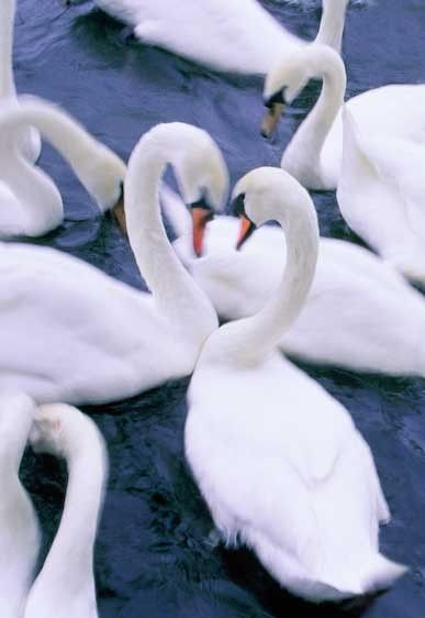 1England__London_Thames_river_swans