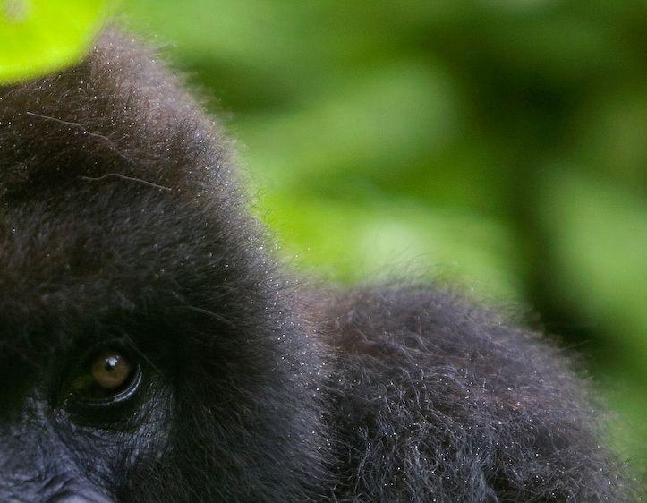 1Rwanda_gorilla_2
