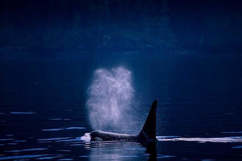1Canada_Ocra_whale_2