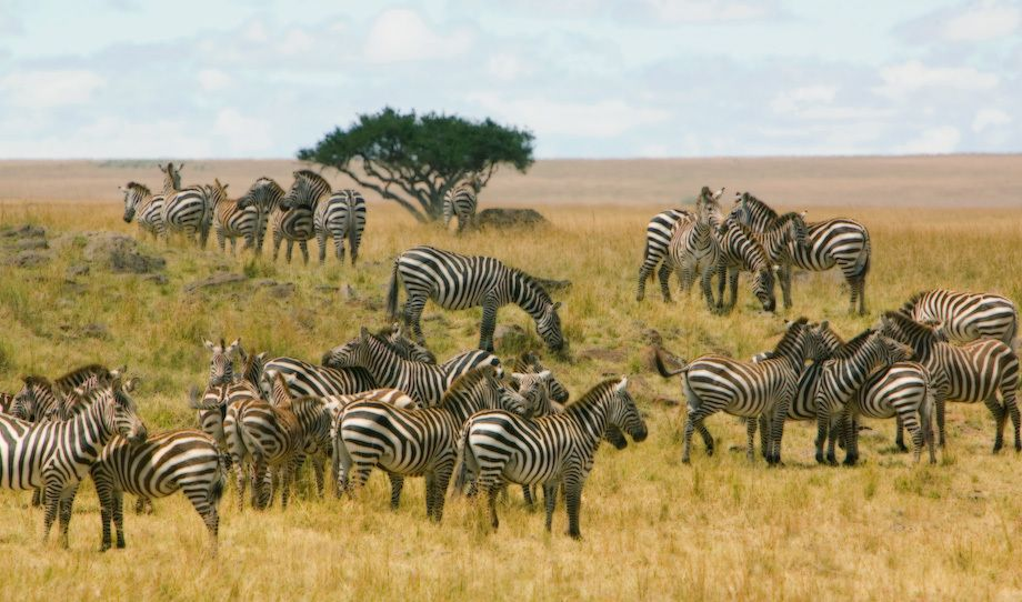 1kenya__zebras_crossing_PS_ed