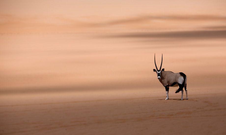 1namibia_namib_desert_oryx_print